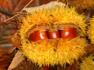 castañas en el erizo