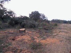 Imagen que ilustra la tala de encinas, tomada de la web de Ecologistas en Acción de Monesterio (Badajoz)
