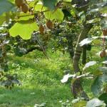 plantación de kiwis