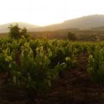 viñedos del Bierzo