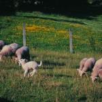 a baña ovejas