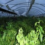 invernaderos de pimientos de padron